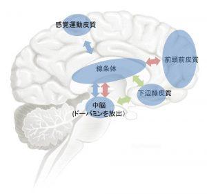 脳内での習慣の形成の図